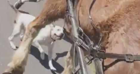 Un pitbull attaque un cheval (États-Unis)