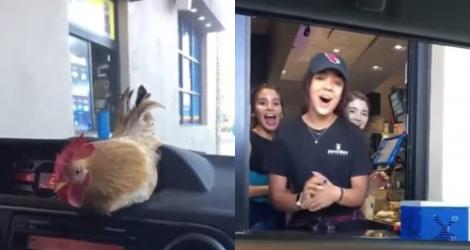 Un poulet de compagnie a un succès fou auprès d'une serveuse de drive-in