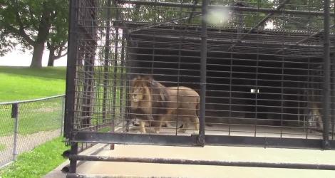 Un lion baptise des touristes